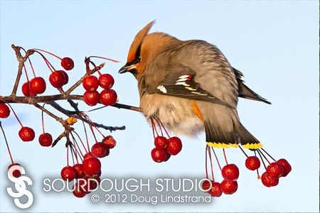 Nature's Beauty / Bohemian Waxwing