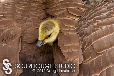 Gosling's Feather Bed / Canada Geese