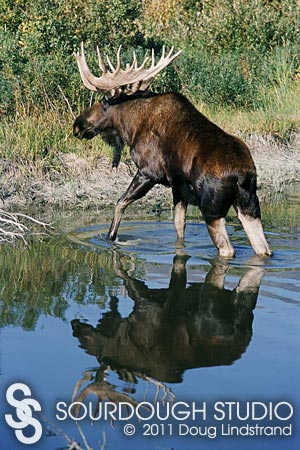 Reflection-Bull-Moose